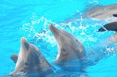 pic of bottlenose dolphin  - Funny Dolphins Swimming on a very Blue Water - JPG