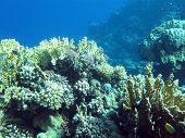 image of fire coral  - colorful coral reef with hard corals at the bottom of tropical sea on blue water background underwater - JPG
