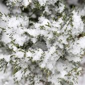 image of conifers  - Fresh snow over conifer branches in winter forest - JPG