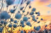 picture of marsh grass  - Cotton grass on a background of the sunset sky - JPG