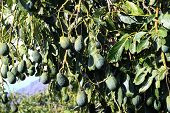 stock photo of avocado tree  - The avocado tree  - JPG