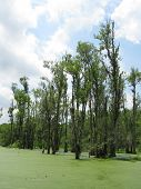 pic of green algae  - Swamp covered with green algae and tall trees - JPG
