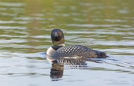 foto of loon  - Common Loon in Sagnaga Lake in Quetico Provincial Park - JPG