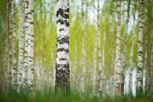 stock photo of birching  - Trunk of birch tree in Swedish forest with fuzzy lush foliage background in early spring