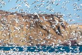 pic of tern  - Flock of thousands of Elegant Terns flying in Paracas Peru