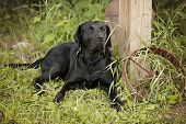 picture of wagon  - Beautiful black Labrador Retriever lying down next to an old rusty wagon wheel - JPG