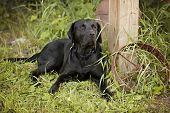 stock photo of wagon wheel  - Beautiful black Labrador Retriever lying down next to an old rusty wagon wheel - JPG