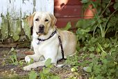 image of seeing eye dog  - Beautiful Yellow Labrador Retriever lying down in front of an old barn - JPG