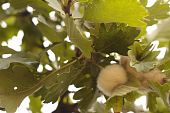 stock photo of cocoon tree  - the nest of spider on the leafe of oak like cotton wool in the forest - JPG