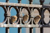 stock photo of bird fence  - Three curious sparrow sitting on iron fence - JPG