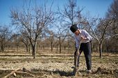 stock photo of orchard  - Senior man digging a hole to plant a plum tree in an orchard on springtime