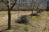 image of orchard  - Plum orchard on springtime cleaning with piles of cut branches after the pruning activity - JPG
