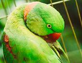 image of parakeet  - Close Up Of Alexandrine Parakeet Psittacula Eupatria - JPG