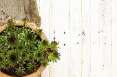 picture of paint pot  - Succulent Sempervivum calcareum in ceramic plant pot on white painted wooden background - JPG