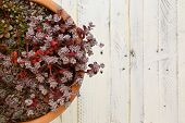 stock photo of paint pot  - Mini Alpine garden sedum collection green silver and red leaves in clay pot on white painted wooden background - JPG