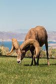 foto of ram  - a nice desert bighorn sheep ram in nevada - JPG