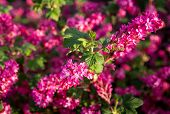 picture of plant species  - Ribes sanguineum  - JPG