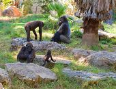 stock photo of gorilla  - Family life of gorillas in natural environment at sunset - JPG