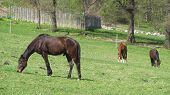 stock photo of horses eating  - three brown horses eating grass on the meadow - JPG