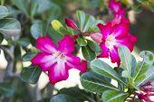 image of azalea  - Adenium obesum Desert Rose Impala Lily Mock Azalea - JPG