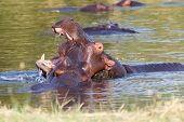 picture of tusks  - Two young male hippopotamus Hippopotamus amphibius rehearse fray and figting with open mouth and showing tusk - JPG
