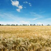 picture of fall-wheat  - ripe wheat on a field - JPG
