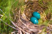 foto of bird egg  - Two robbin eggs in a bird nest - JPG