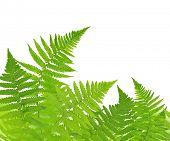 image of fern  - Fern isolated on white background - JPG