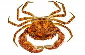 picture of crab  - Cooked crab isolated on white background Cooked crab isolated on white background - JPG
