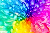 picture of transpiration  - Colorful of rainbow Chrysanthemum flower background texture - JPG