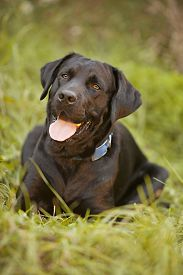 stock photo of seeing eye dog  - Beautiful black Labrador Retriever lying in the grass - JPG