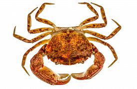 picture of cooked crab  - Cooked crab isolated on white background Cooked crab isolated on white background - JPG