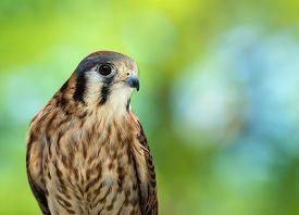 image of falcons  - Portrait of American Kestrel  - JPG