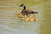 image of mother goose  - Canada goose goslings swimming in a lake with the mother - JPG