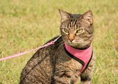 Beautiful brown tabby cat in harness and leash with summer green background poster