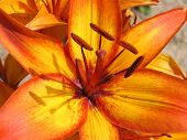 stock photo of asiatic lily  - asiatic lily - JPG