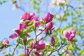 stock photo of saucer magnolia  - Pink abloom magnolia flower in sunny spring day in front of blue sky - JPG