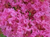 foto of crepe myrtle  - closeup of a blooming crape myrtle shrub - JPG