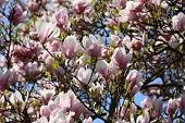 picture of japanese magnolia  - pink flowers of blooming magnolia tree and the blue sky - JPG
