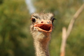 picture of funny animals  - This is photo of funny ostrich bird - JPG