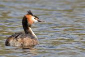 picture of great crested grebe  - A full grown great crested grebe  - JPG