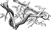 stock photo of harmless snakes  - Snake on the branches of the tree - JPG