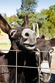 stock photo of mule  - Two comical mules looking over a wire fence