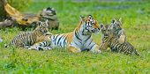 Tigress With Cubs. Amur Tigress With A Little Tiger Cubs. The Amur Or Ussuri Tiger (lat. Panthera Ti poster