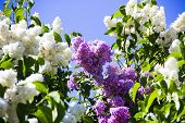 Lilac And White Flowers In Sunny Spring Garden On Blue Sky Background. Spring Flower Background, Sel poster
