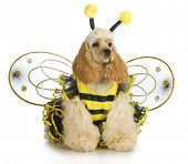 dog dressed like a bee - american cocker spaniel wearing a bumble bee costume