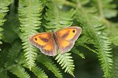 pic of gatekeeper  - A picture of a Gatekeeper Butterfly taken at Cannock Chase - JPG