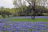 stock photo of bluebonnets  - Bluebonnets with grass and trees in Texas Hill Country - JPG