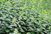 Close-up Of Floweing Stinging Nettles, Herbaceous Perennial Plants, Covering A Scarp poster