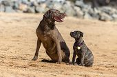 A Chocolate Labrador and a baby Boxer pup train to retrieve decoys